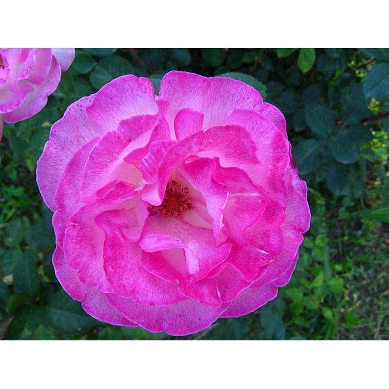 Idrolato di Rosa Damascena 100ml Olfattiva
